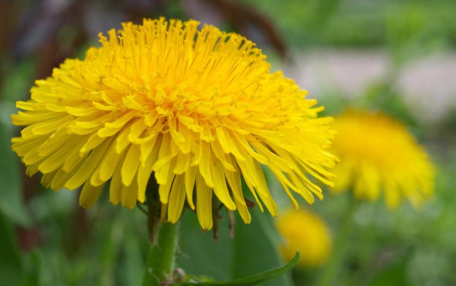 Why Do I Have Yellow Flowers In My Lawn Purelawn Cincinnati
