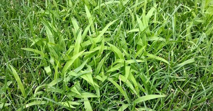 When should I apply pre-emergent crabgrass preventer?